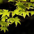 Transparencias:hojas nuevas de arce