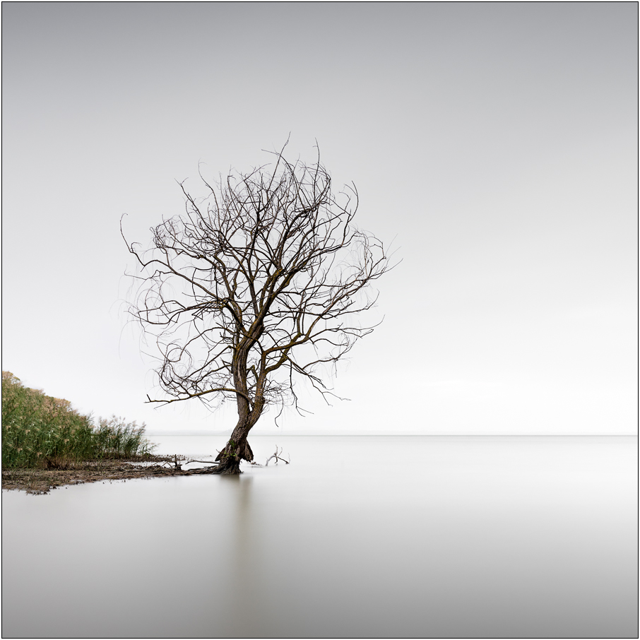 trasimeno tree