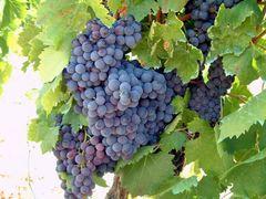 Trauben aus der Toskana