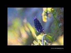 Trauben Hyacinthe #1