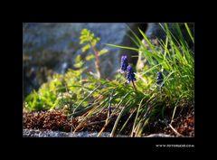 Trauben Hyacinthe #2