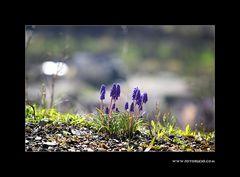 Trauben Hyacinthe #3