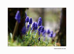 Trauben Hyacinthe #4