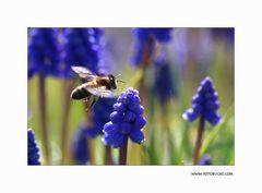 Trauben Hyacinthe #5