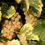 Trauben kurz vor der Ernte -