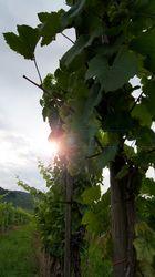 Trauben und Sonne