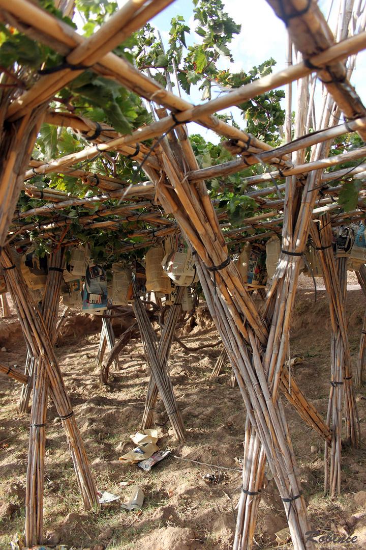 Traubenanbau in der Region Marrakesch 2