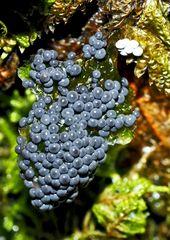 Traubenbeeren? Nein, ein Schleimpilz!  ---  Une grappe de raisin? Non, un champignon! *