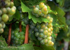 Traubendolden kurz vor der Weinlese