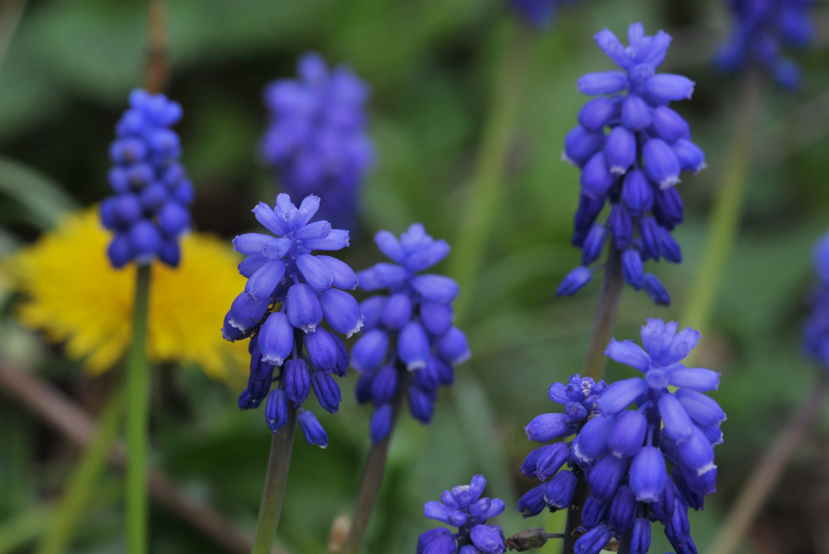 Traubenhyazinthen (Muscari)
