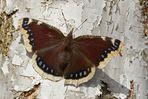 Trauermantel (Nymphalis antiopa), Weibchen