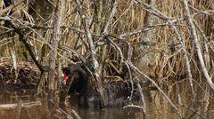 Trauerschwan beim Nestbau