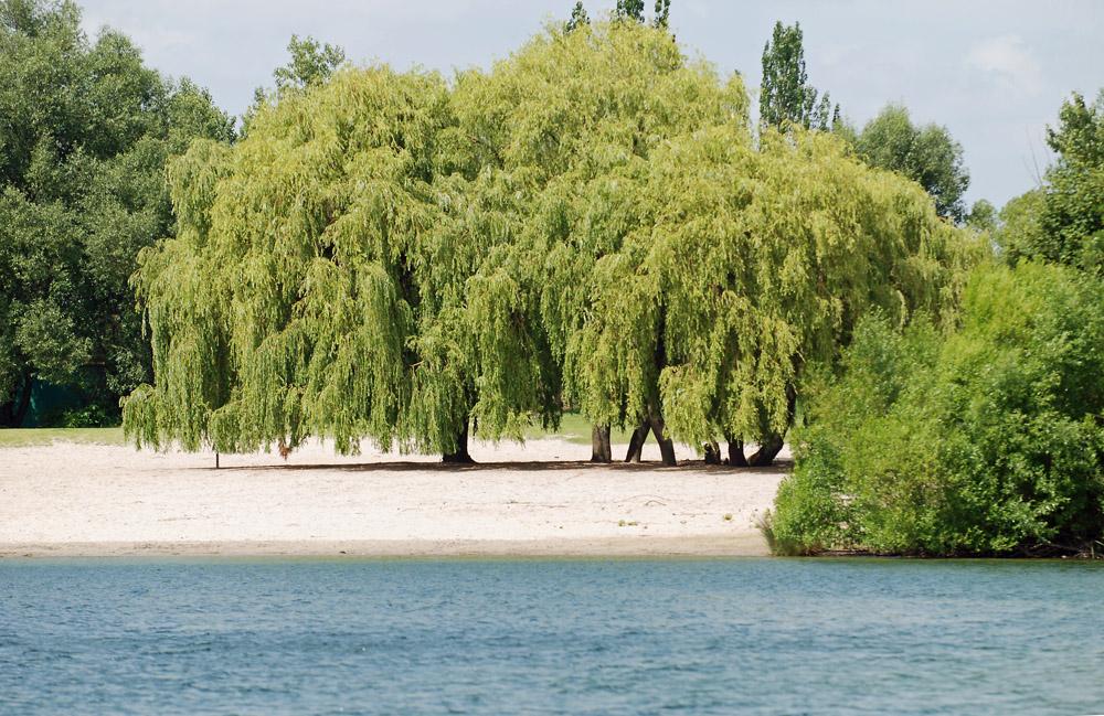 Trauerweide am Binsfeld See