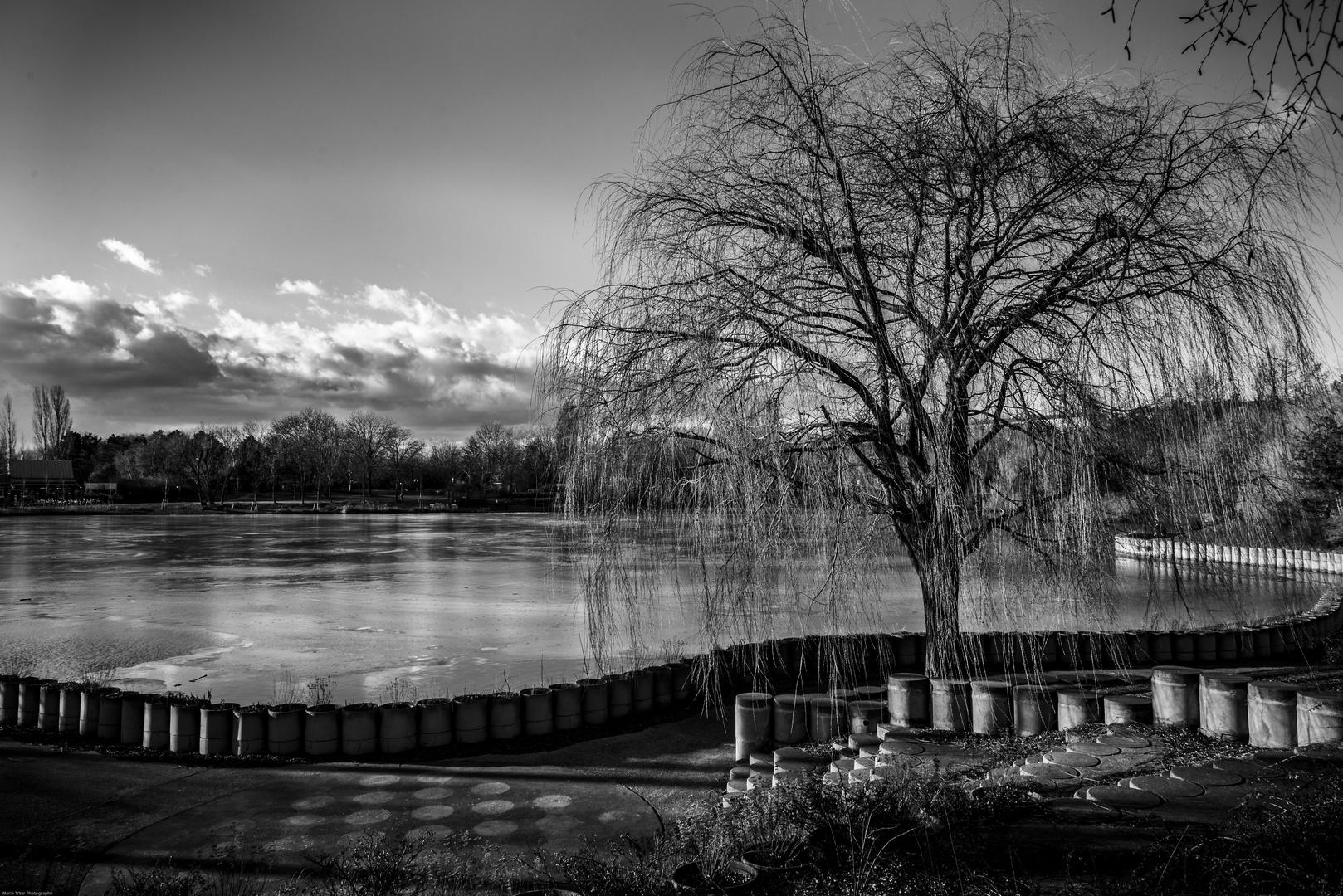 Trauerweide am See