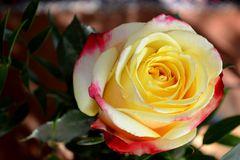 Traum von einer Rose
