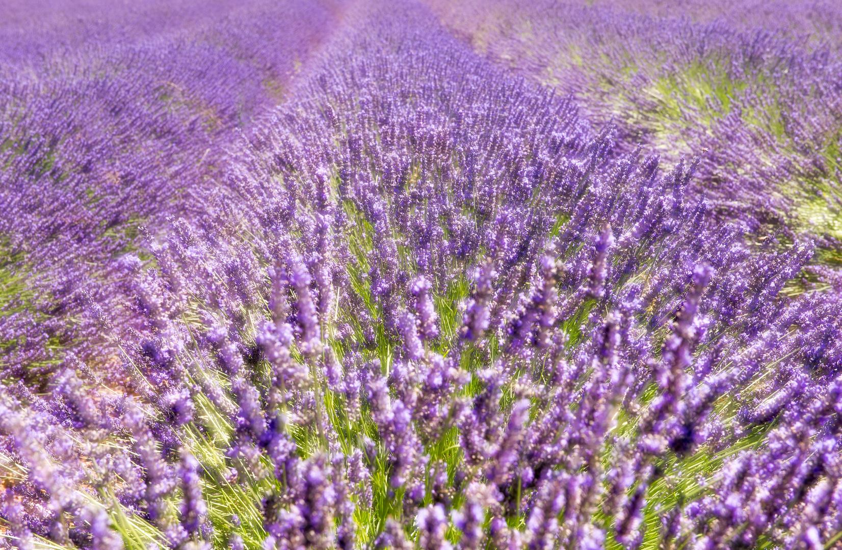 Traumwelt Lavendelfeld
