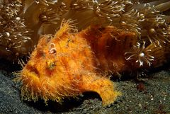 Traumwelten 10: hairy frogfish