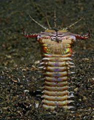 Traumwelten 24 :  Bobbit-Wurm