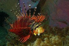Traumwelten 26:  Zebra-Zwergfeuerfisch