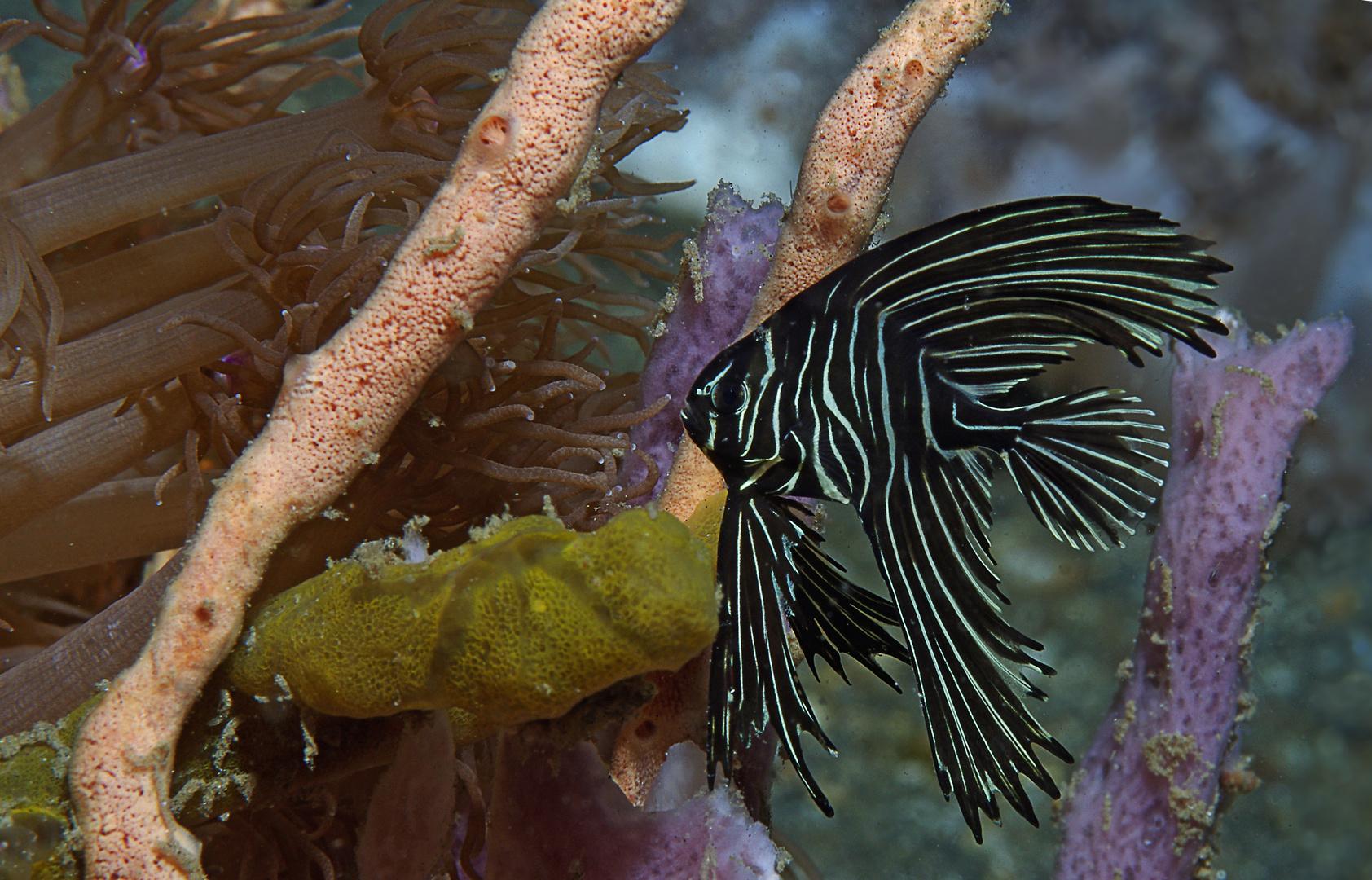 Traumwelten 33: Buckelkopf-Fledermausfisch juvenil