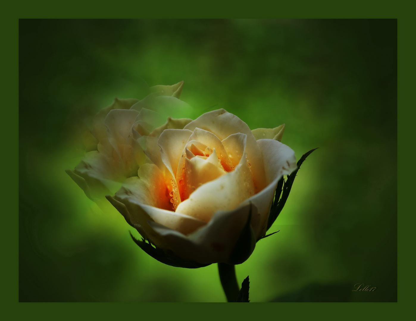 Traurige Rose  Foto & Bild   natur-kreativ, natur