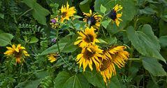 Traurige Sonnenblumen
