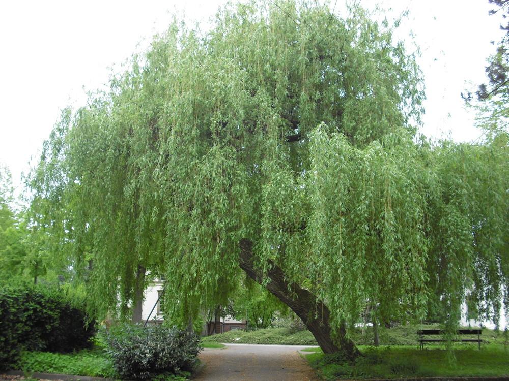 Traurige Weide Foto Bild Landschaft Garten Parklandschaften