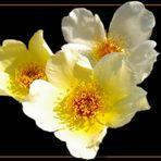 Tre roselline (pensando a Bernardo)