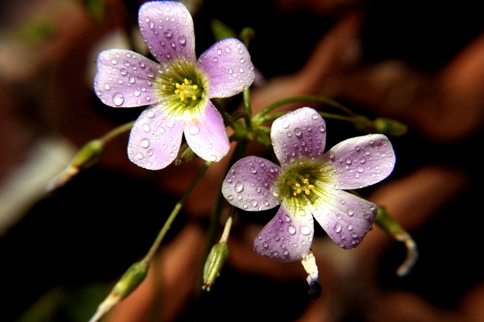 Trébol en periodo de floración