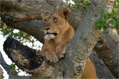 Tree-Lioness in Queen Elisabeth Nationalpark