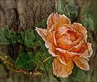 Tree-rose