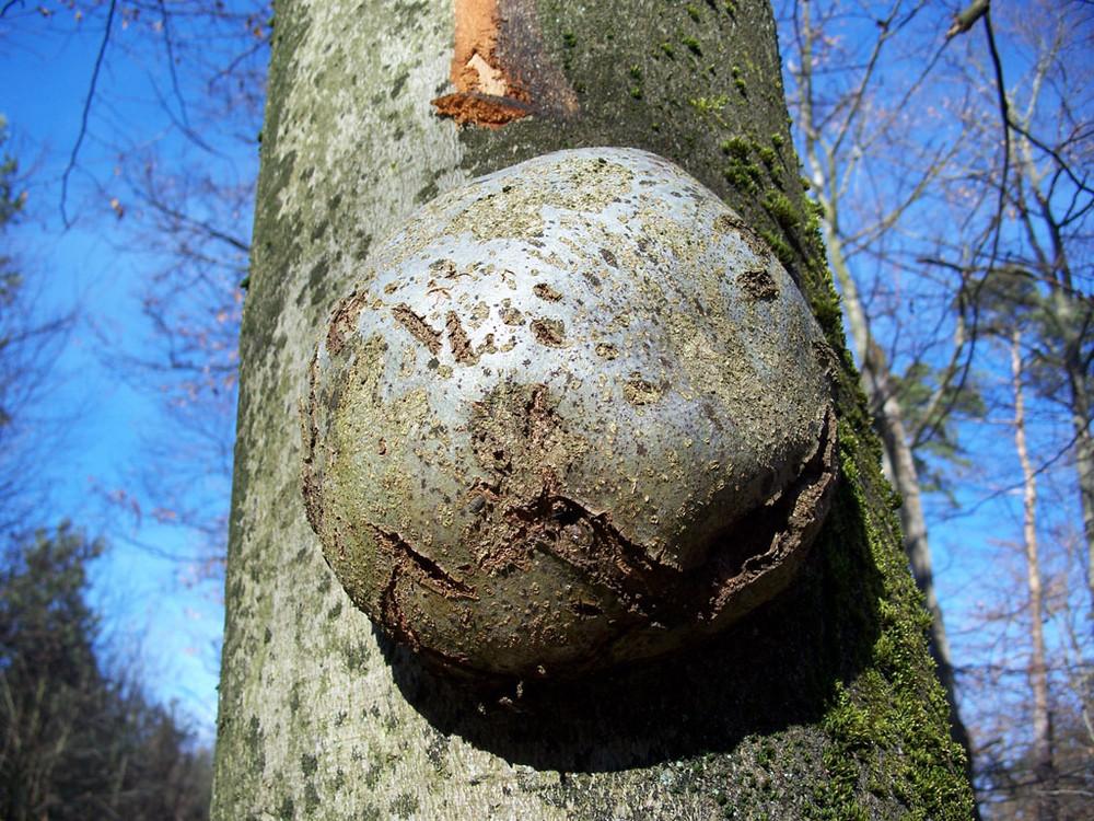 tree's bump - guz na drzewie