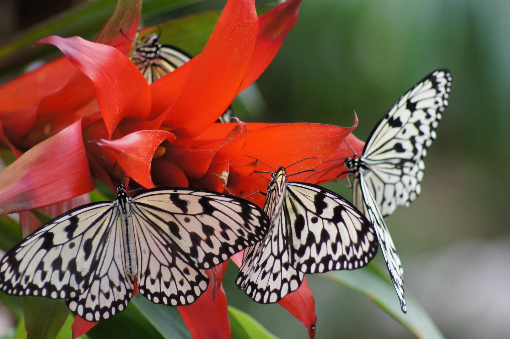Treffen der Schmetterlinge