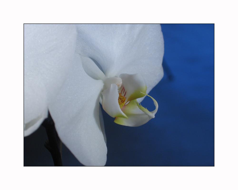 treue Pflanze mit einer bezaubernden Blütenpracht bereits im Vorfrühling