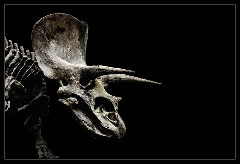- triceratops -