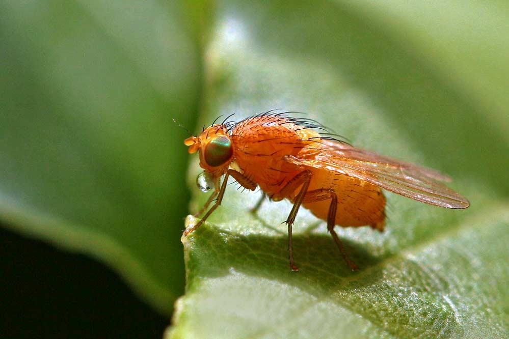 Tricholauxania praeusa
