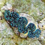 Tridacnidae