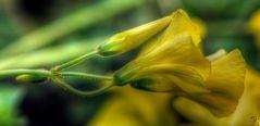trifoglio giallo 2