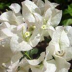 Trinitarias Blancas ( Bugambilias)