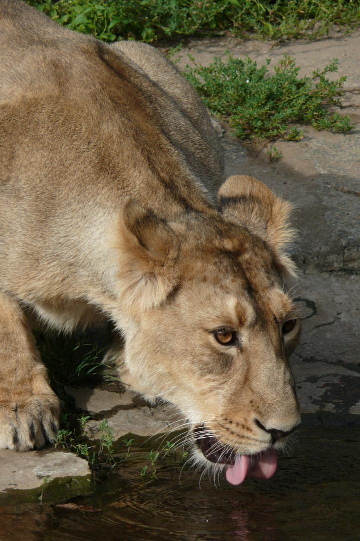 Trinkende Löwin im Tierpark Berlin
