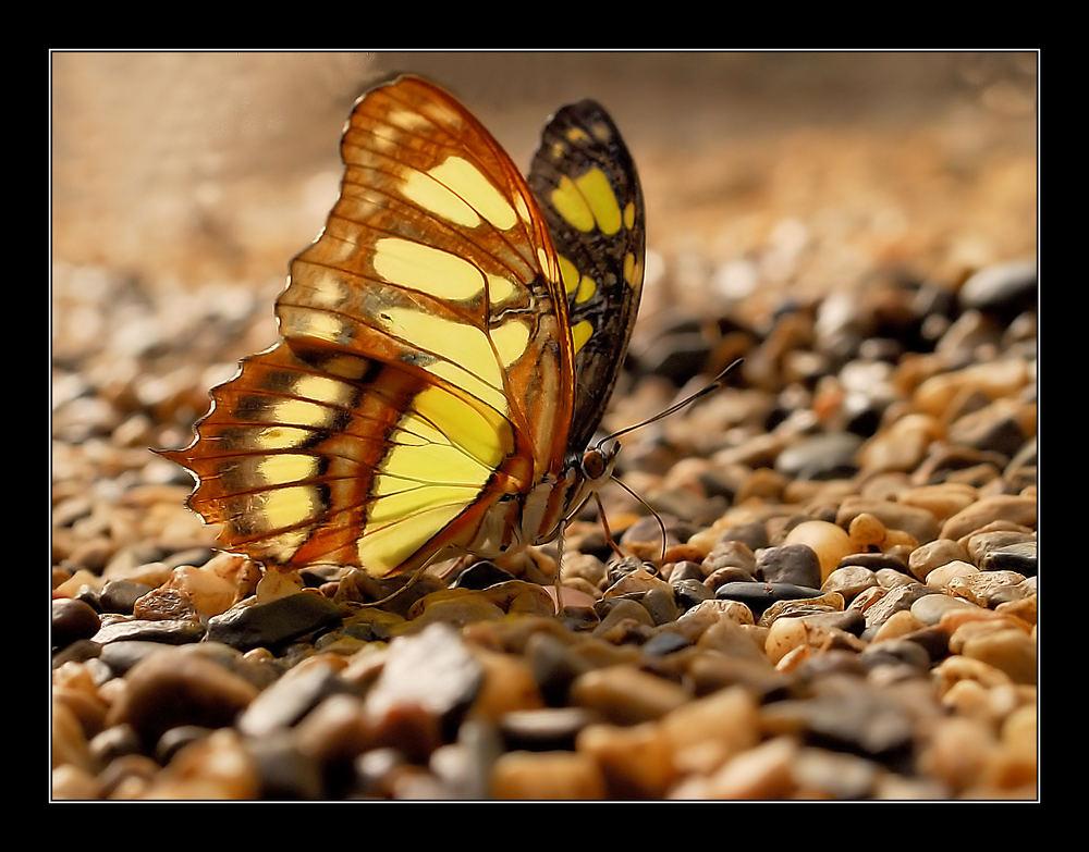 Trinkender Schmetterling 2