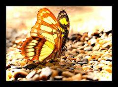 Trinkender Schmetterling
