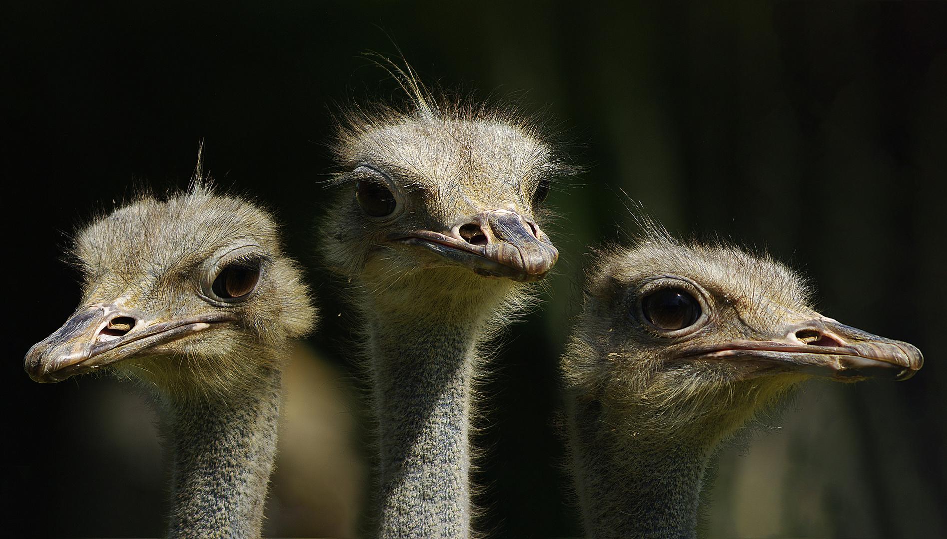 Trio d'autruches (Struthio camelus)