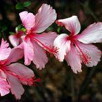 Trio d'hibiscus roses -- Trio von rosa Hibiskusblüten
