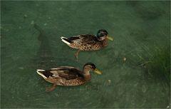 Trio im grünes Wasser # Trio en aguas verdes