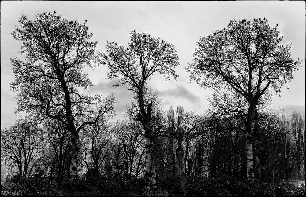 "Triplewohnbäume"" für Krähen"