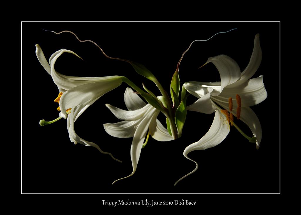 Trippy Madonna Lily