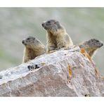 Tris di Marmotte