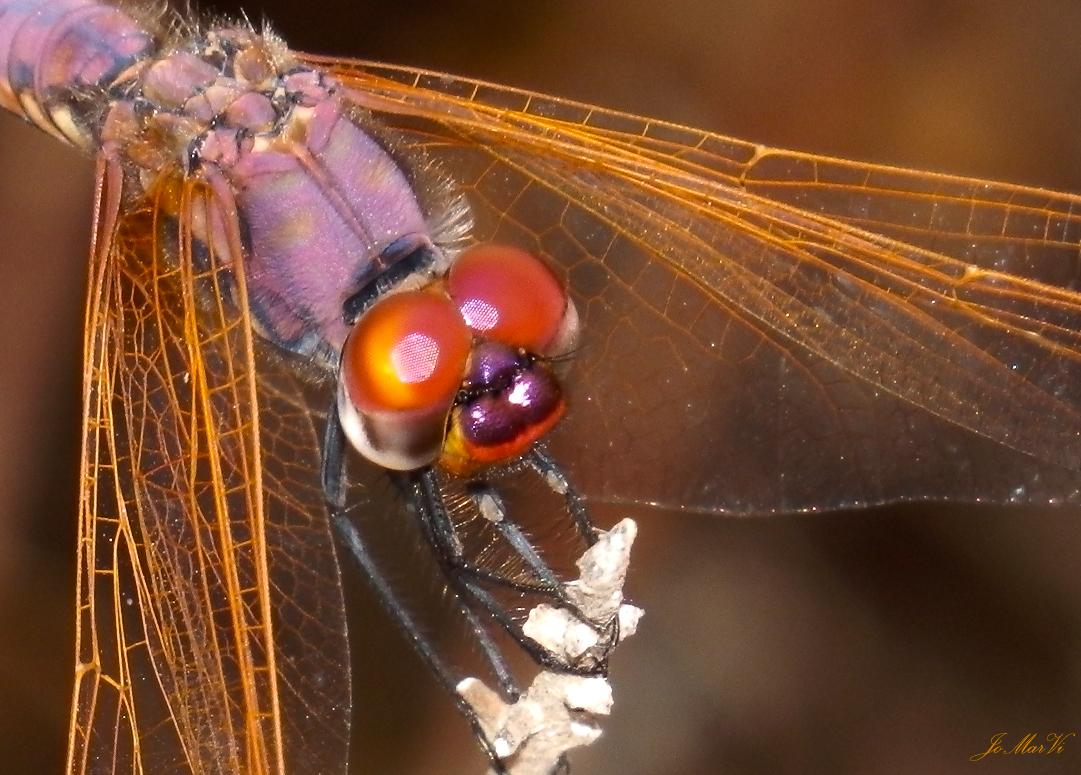 Trithemis Annulata macho