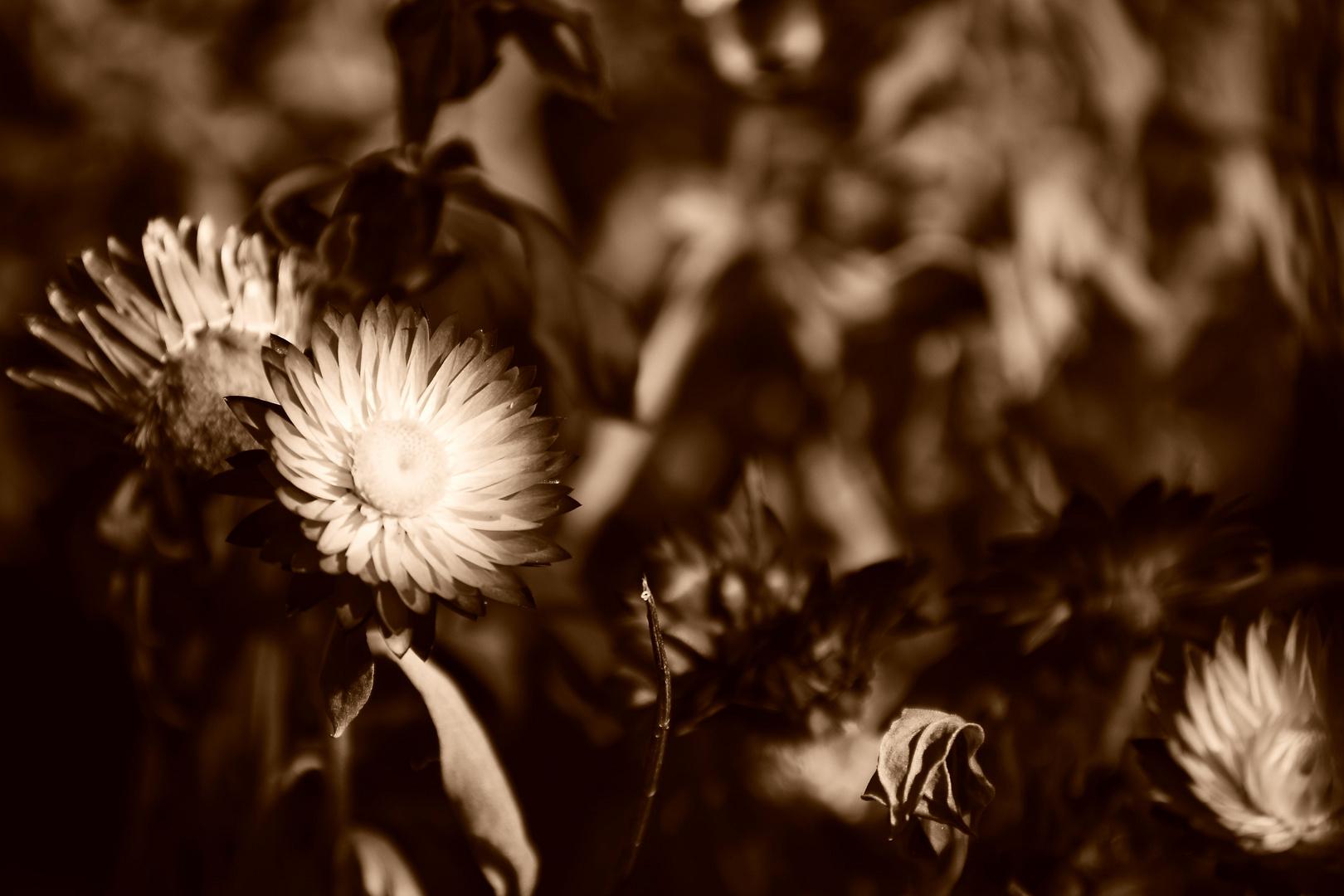 Trockenblumen in Sepia